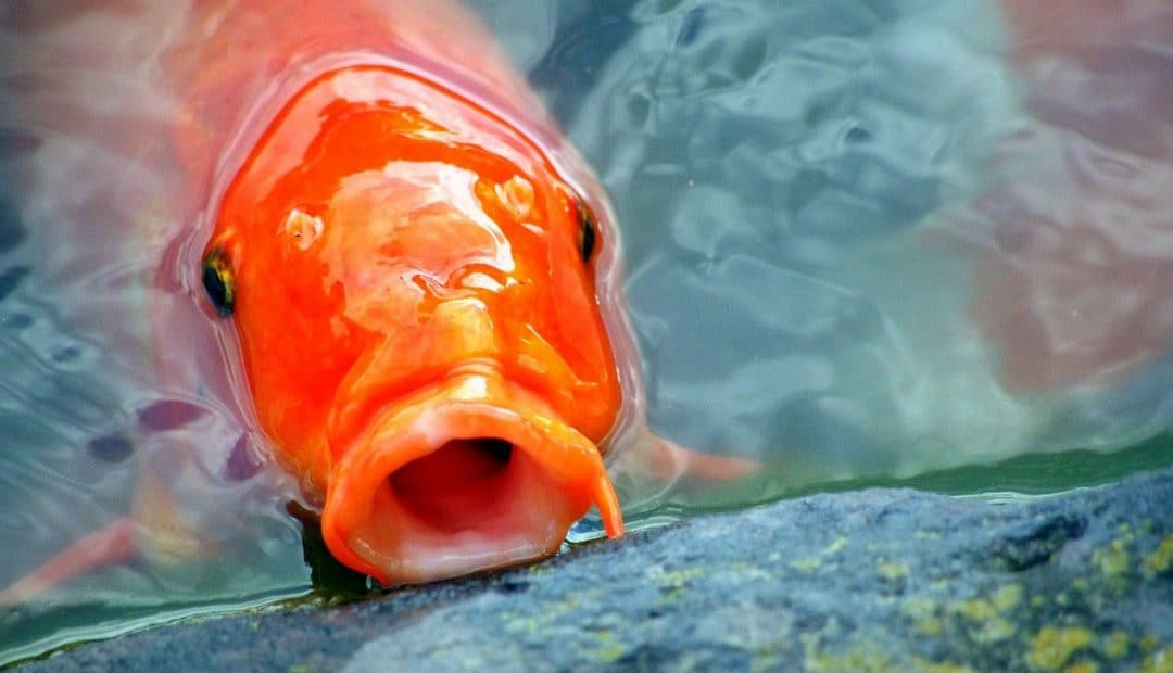 Les carpes koï : les poissons parfaits pour votre bassin